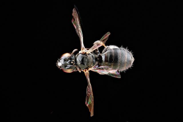 Hawaii bee