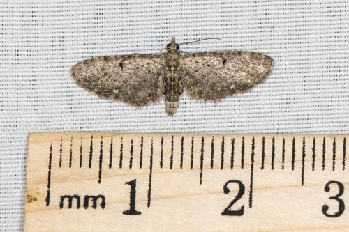 Eupithecia